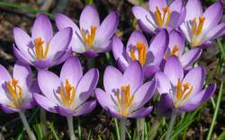 Sunny Purple Crocuses