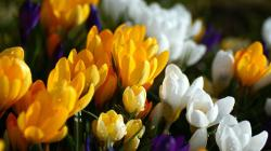 Wallpapers water pictures crocuses lowers flower archives Flower HD Wallpaper 1920x1080 px