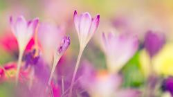 Pink crocuses, blurred background wallpaper 1600x900.