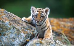 Cub Background 14786