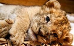 Lion cubs cute lion cub