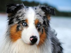 Cute Australian Shepherd Wallpaper 36403 1920x1280 px