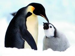 penguin desktop wallpaper wallpapers snow ice family cute baby penguin