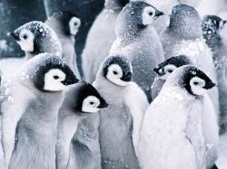 With Cute Baby Penguin Wallpaper Hd Baby Penguin Animal Wallpapers Hd