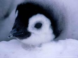 Baby Penguin Close Up