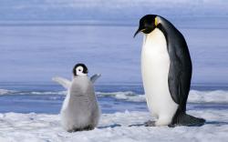 Cute Baby Penguin Cartoon HD Wallpaper