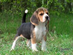 Beagles Here is a super cute beagle