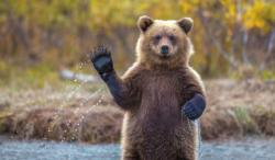 This friendly grizzly bear waved at the camera. Credit: Kevin Dietrich/Solent News