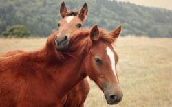 Cute Brown Horse Wallpaper 22474