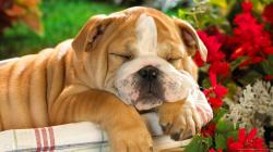 cute bulldog puppy sleeping in a basket