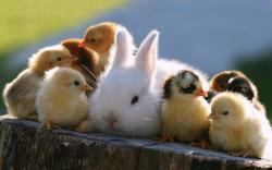 Cute Bunny With Little Chicks