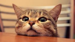 Cute cat head Wallpaper in 1600x900 HD Resolutions