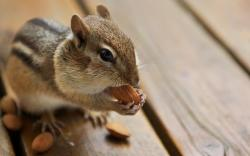 Animal Cute Chipmunk Are Rodents Wallpaper #125285 - Resolution 1280x800 px