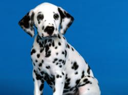 hd wallpapers blue background dalmation dog cool desktop images widescreen