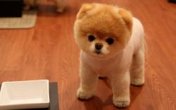 Cute Pomeranian Dog
