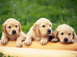 Three Cute Puppy Dog Wallpaper HD 80633 for Walls and Border
