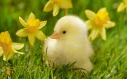 Cute Duckling · Duckling Wallpaper ...