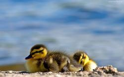 Cute ducklings