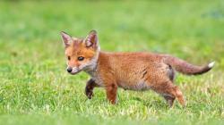 Cute fox cub Wallpaper in 1920x1080 HD Resolutions