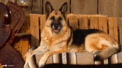 Cute German Shepherd Wallpaper 20708 1920x1080 px
