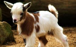 Adorable Goat Wallpaper · Cute Goat Wallpaper ...