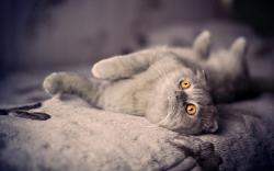 Cute Gray Cat Lie Bed Photo