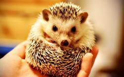 Cute Hedgehog Pictures