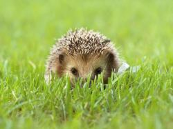 Cute Baby Hedgehog Wallpapers Hd Background 9 HD Wallpapers