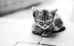 Cute kitty monochrome Wallpapers Pictures Photos Images. «