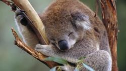Cute Koala Sleeping