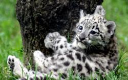 Animal - Leopard Wallpaper