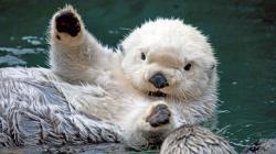 Others Cute Baby Sea Otters Free Desktop Wallpaper