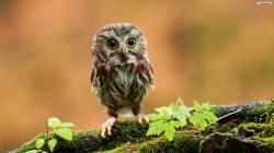 Cute Baby Owl Wallpaper