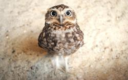 ... cute-owl-wallpaper