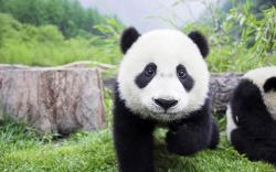 CutePandababy 300x187 Young baby panda taking first steps Cute panda pictures pictures of pandas giant panda