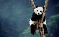 Cute Panda Wallpaper Cute panda climbing wallpaper