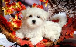 Cute White Puppy Hd Backgrounds Widescreen Wallpapers High