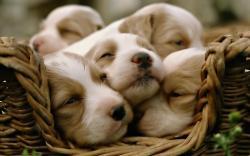 Cute Puppy Wallpaper Desktop 30118 Hd Wallpapers