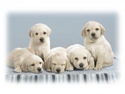 Cute puppy wallpaper hd