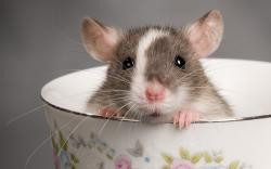 Rat Teacup Animal Cute Rodent