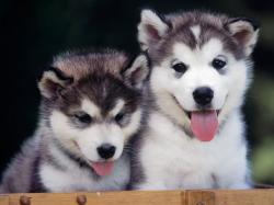 Cute Siberian Husky Puppies 1 HD Wallpap