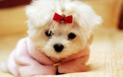 ... Cute-Dog-With-Ribbon-HD-Wallpaper-13605-Wallpaper ...