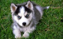 Cute Baby Siberian Husky Wallpaper Background
