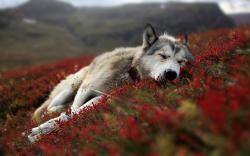Cute Wolf Wallpaper