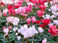 Cyclamen is known to be different from others and you may need to know how to grow cyclamen. Therefore, you can do the right things to do or give the right ...