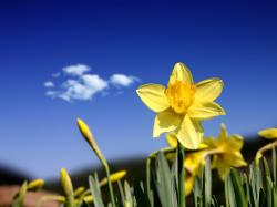 Celebrating Spring's First Flower: The Daffodil