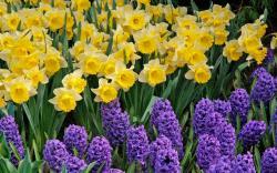 Daffodil · Daffodil · Daffodil Wallpaper ...
