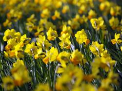 Daffodil Wallpaper 11565