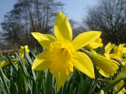 Daffodils Flowers Hd Wallpapers Hd
