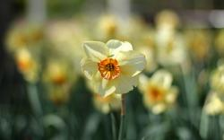 Daffodils Focus Spring Flowers Nature